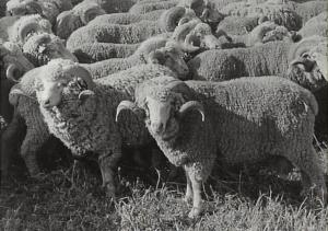 Descendants of the original Macarthur flock, now at the Elizabeth Macarthur Agricultural Institute. 1980.