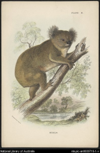 Koala, London : Wyman & Sons, 188-?. National Library of Australia, an-9939719-1-v.