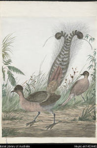 Lyre Birds by Neville Cayley, 1854-1903. National Library of Australia, an14534402-v.